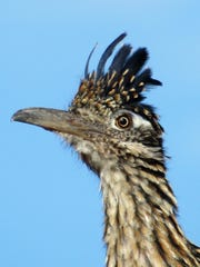 Few birds resemble their dinosaur ancestors more than the roadrunner, who is a clever hunter