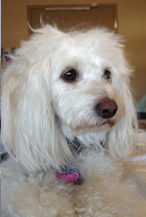 The missing service dog is a 2-year-old Maltese named Ladybug