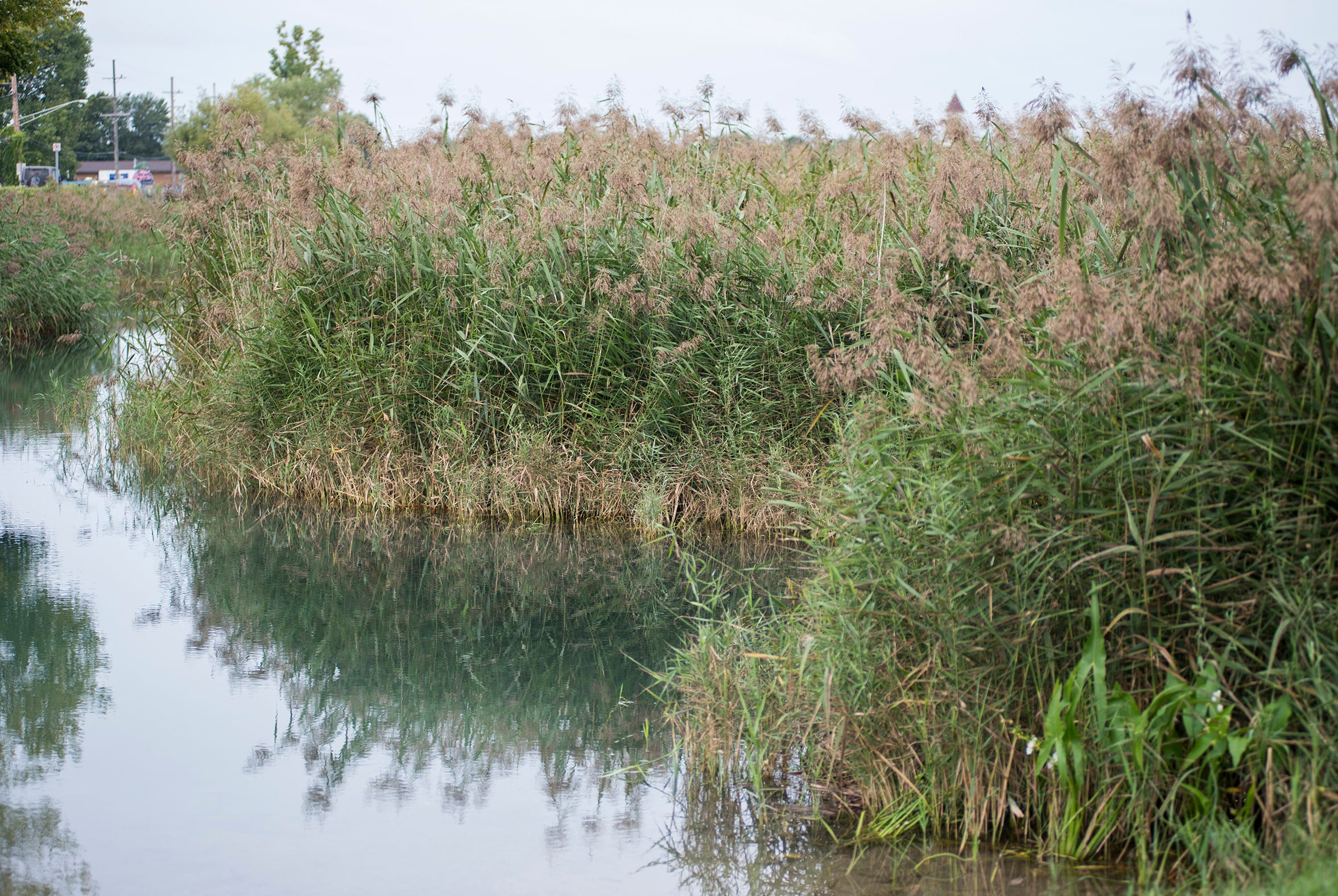 Phragmites grow along the water in St. Johns Marsh. A proposal to use the herbicide glyphosate to at least initially knock down the invasive reed has residents concerned.