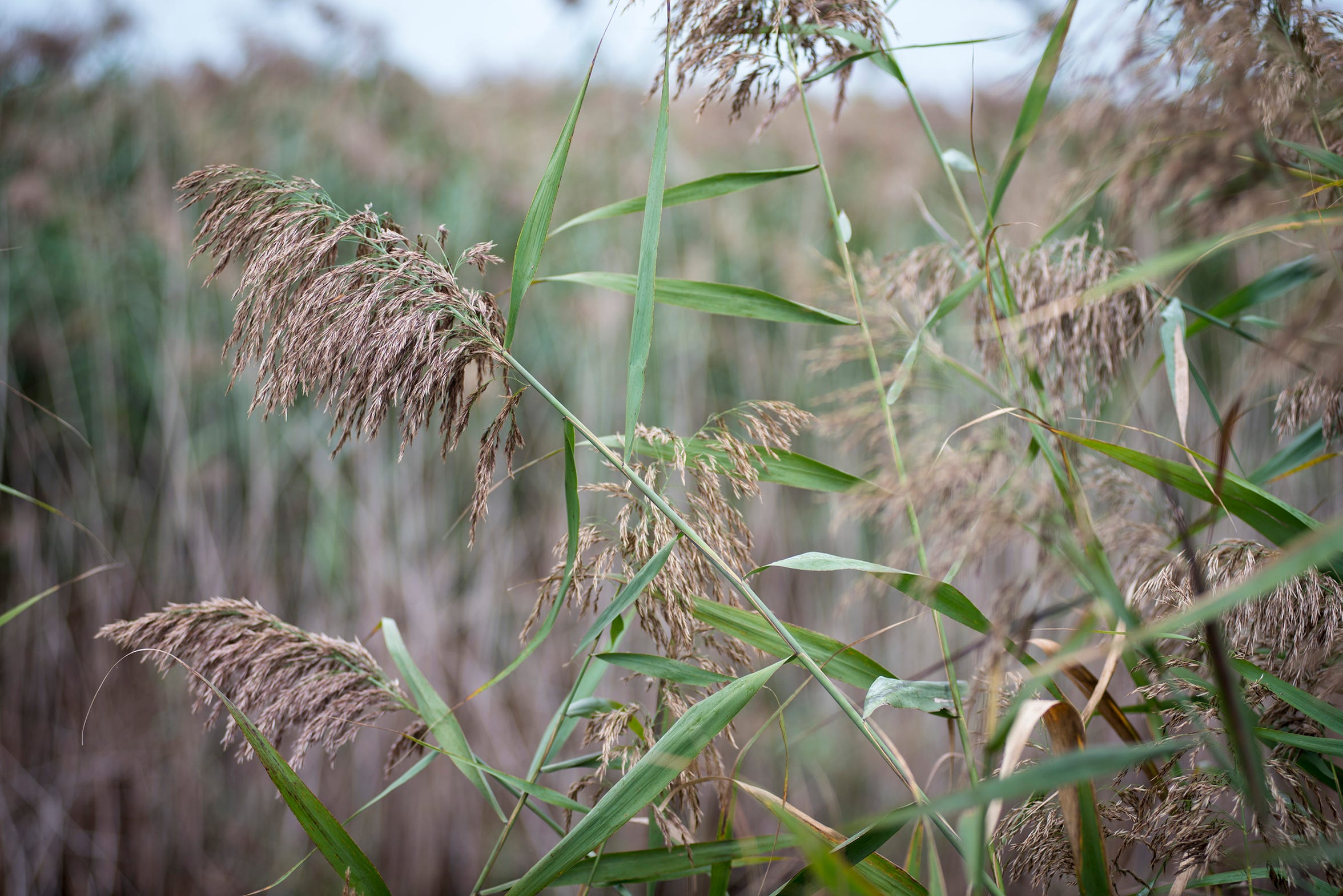 A proposal to use the herbicide glyphosate to at least initially knock down phragmites has residents concerned.