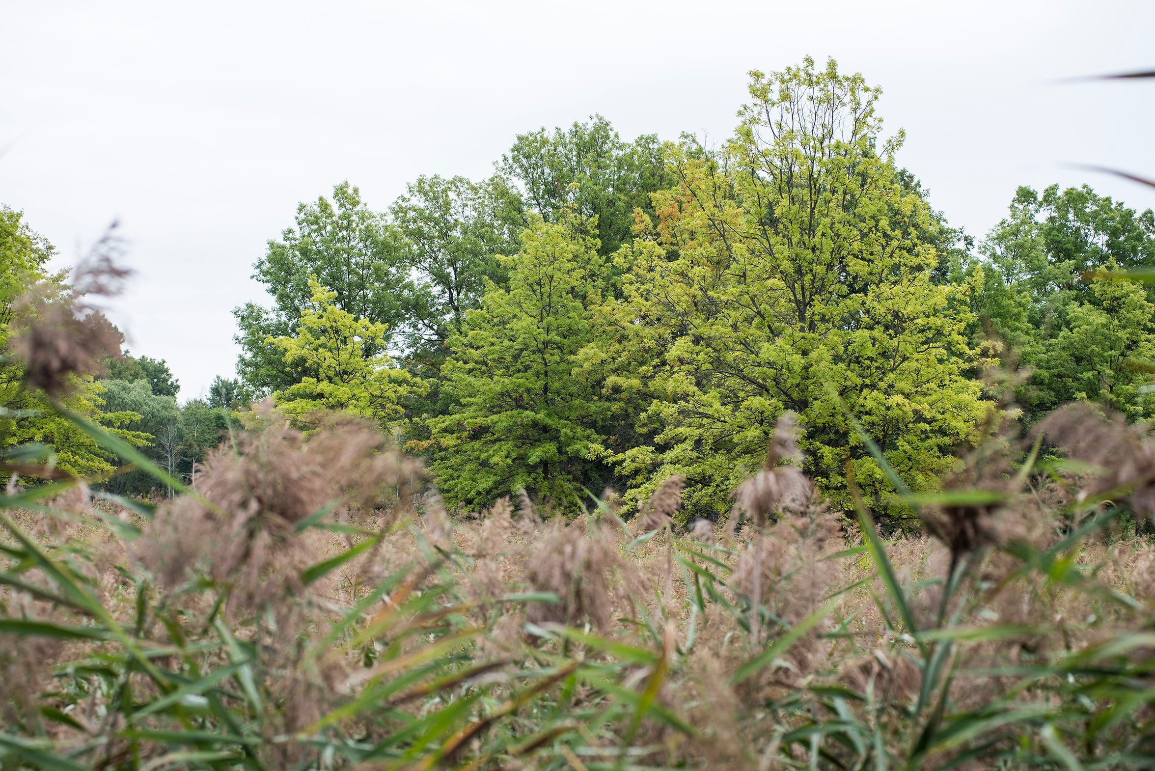 Trees rise above phragmites in St. Johns Marsh in Clay Township. A proposal to use the herbicide glyphosate to at least initially knock down the invasive reed has residents concerned.