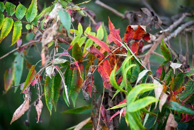 Leaves beginning to turn colors at St. John's Marsh in Clay Township.
