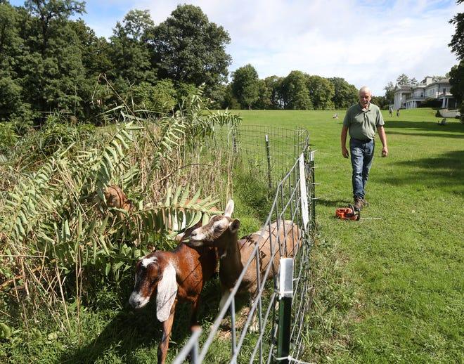 Larry Cihanek of Green-Goats surveys progress his goats are making at Bard College's Blithewood Estate in Annandale-On-Hudson  on September 18, 2018.