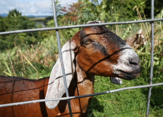 One of the goats from Green-Goats working at Bard College's Blithewood Estate in Annandale-On-Hudson  on September 18, 2018.