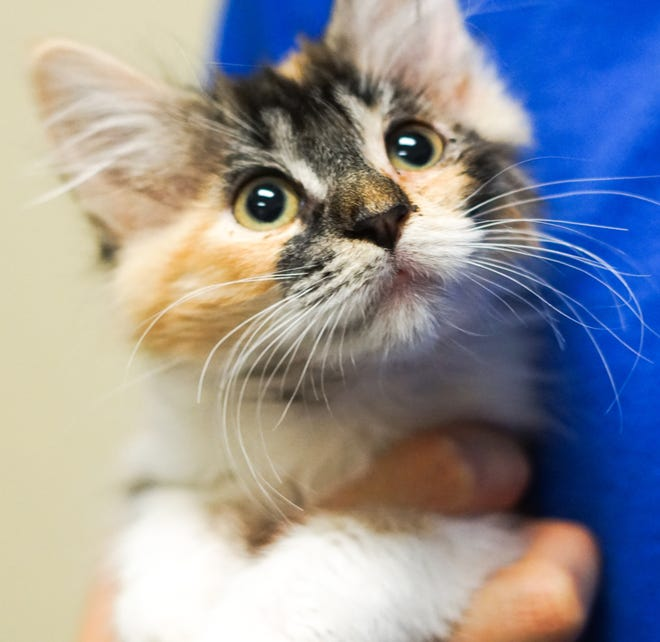 Princess, one of 22 cats and kittens rescued from a Silver Springs, Nev., home.