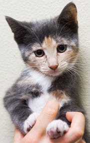 Wonderheart, one of 22 cats and kittens rescued from a Silver Springs, Nev., home.