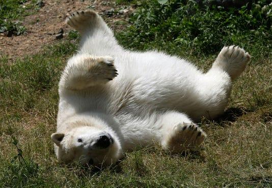 Maryland Zoo Debuts New Polar Bear Anoki
