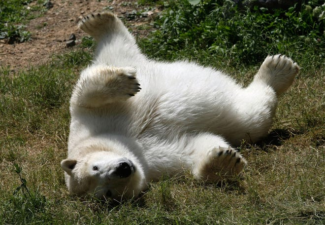 From Aug. 12, 2008: Polar bear Anoki makes her public debut at the Maryland Zoo in Baltimore, Maryland. Anoki was born at the Seneca Park Zoo in November  1996 and lived for 10 years at the Albuquerque Biological Park in New Mexico before moving to the Maryland Zoo.