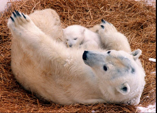 From Jan. 29, 1997: 2-month-old Anoki nuzzles with her mom, Aurora, at Seneca Park Zoo.