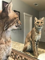 Whisper the bobcat from Turtle Bay Exploration Park contemplates her reflection in the Clays' main bathroom.