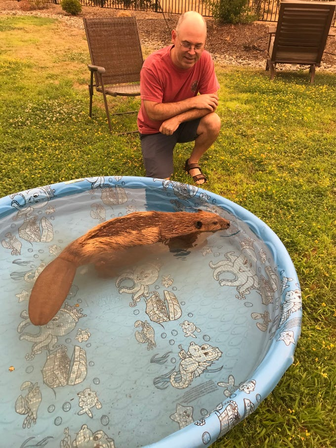 Wayne Clay takes Timber the beaver for a dip in the backyard kiddie pool.