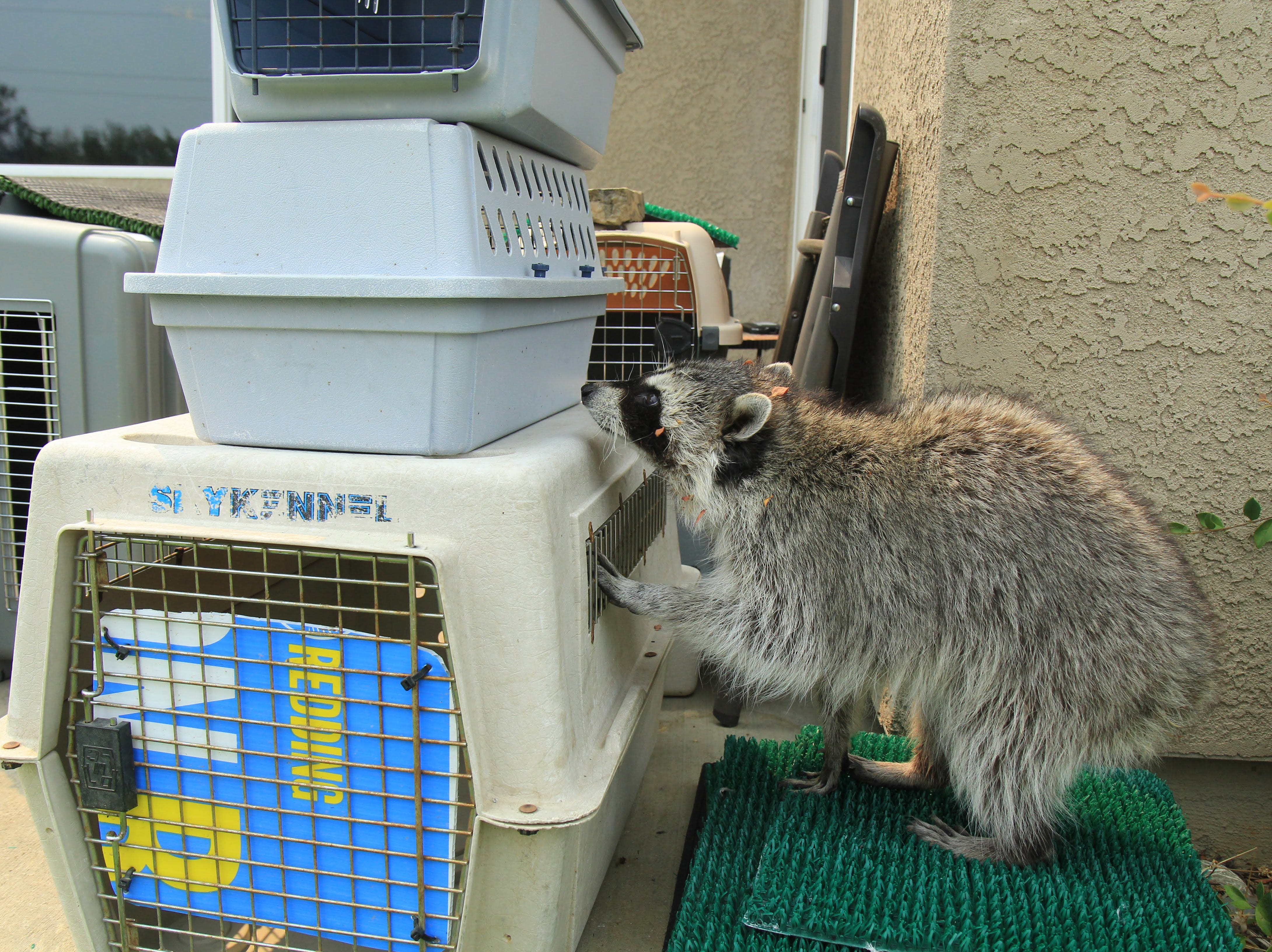 Nashi the raccoon from Turtle Bay Exploration Park sniffs freshly-cleaned kennels.