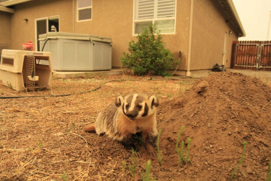 Digger the Badger from Turtle Bay Exploration Park takes a break from digging in the backyard dirt pile.