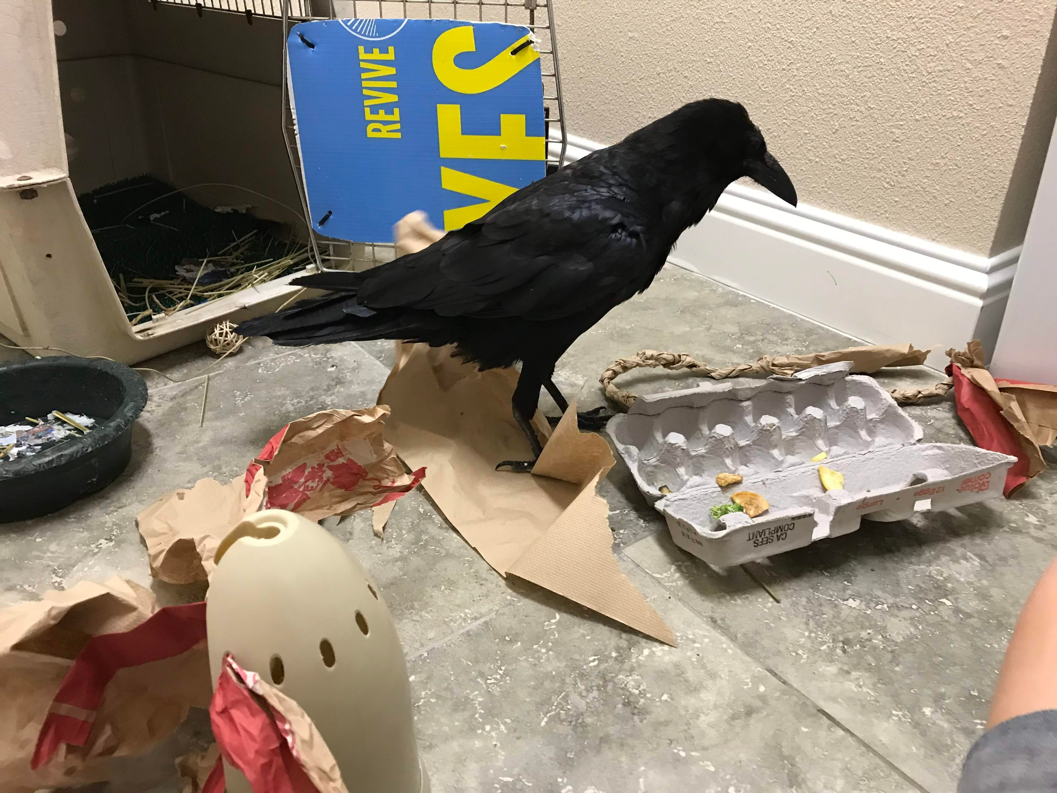 Curie the raven from Turtle Bay Exploration Park plays with a bunch of enrichment objects. ravens are very intelligent and need a great deal of intellectual stimulation.