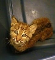 The baby bobcat waits in a tub in the church bathroom for a St. Francis Wildlife volunteer to arrive.