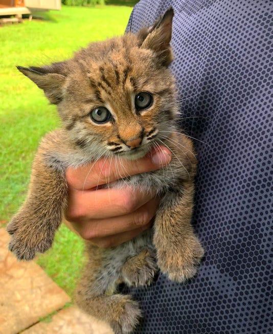 Bobcat By Kelly Pacchioli