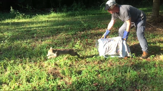 St. Francis Wildlife volunteer Bob Beck releases the grown bobcat.