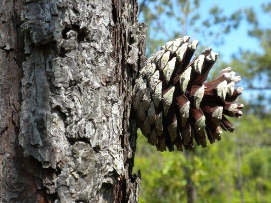 Pinusero Jbn
