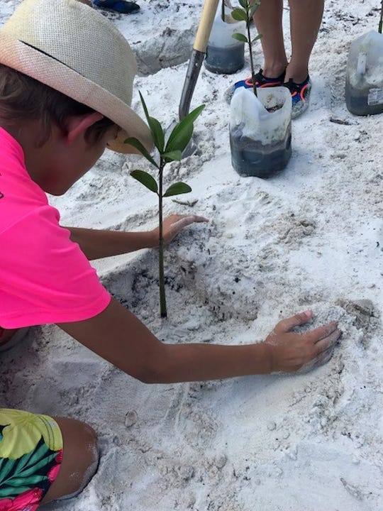 Once the mangroves are established and continue to grow, their sprawling roots will help eliminate floating debris, and barnacles will filter the water further, fine-tuning water quality and combating the detrimental effects of the Lake Okeechobee discharges. With a record-breaking summer of rains and releases, the pressing threat of blue-green algae on biodiversity is becoming more and more apparent.
