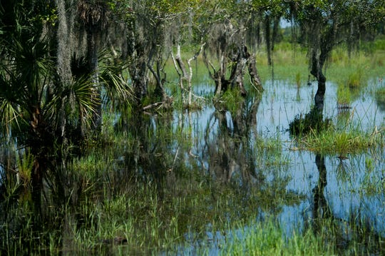 Alico Inc. owns about 122,000 acres of land in Florida, including wetlands in Hendry County that are primarily used for cattle ranching. The proposed water farm would hold both rainwater that naturally collects on the property and water discharged from Lake Okeechobee into the Caloosahatchee River, protecting the river's estuary near Fort Myers. (LEAH VOSS/TREASURE COAST NEWSPAPERS)  CQ: Wallace  TAKEN: Thursday, September 3, 2015