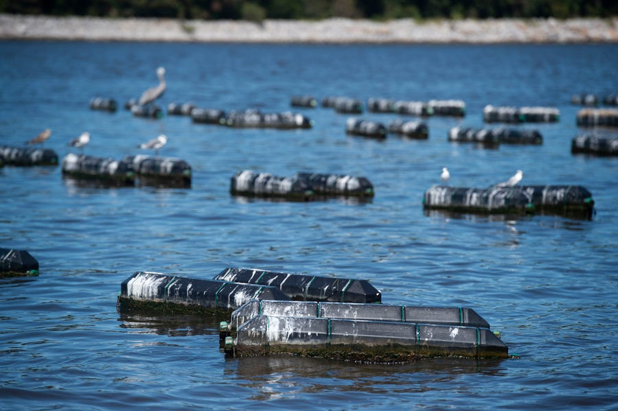 Pensacola Bay Oyster Co.'s first oyster farm, Magnolia Bluff, occupies about five acres of the Pensacola Bay.