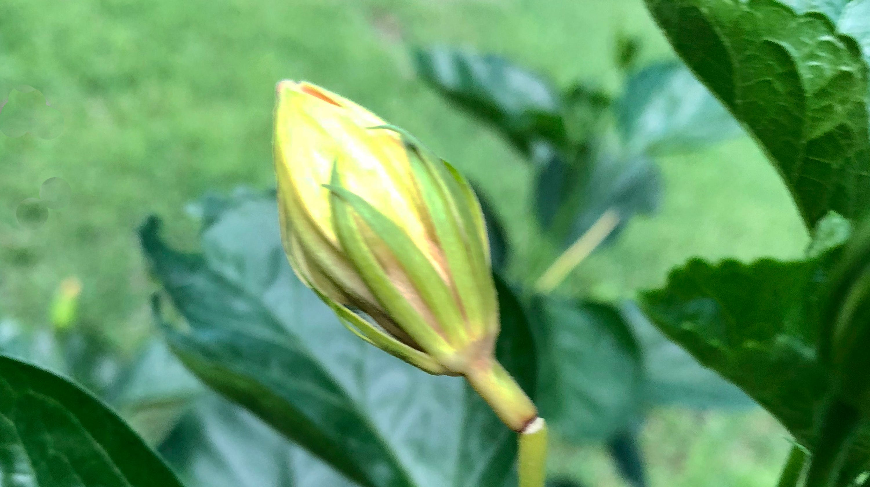 Hibiscus Stems Breaking Before Blooms Appear