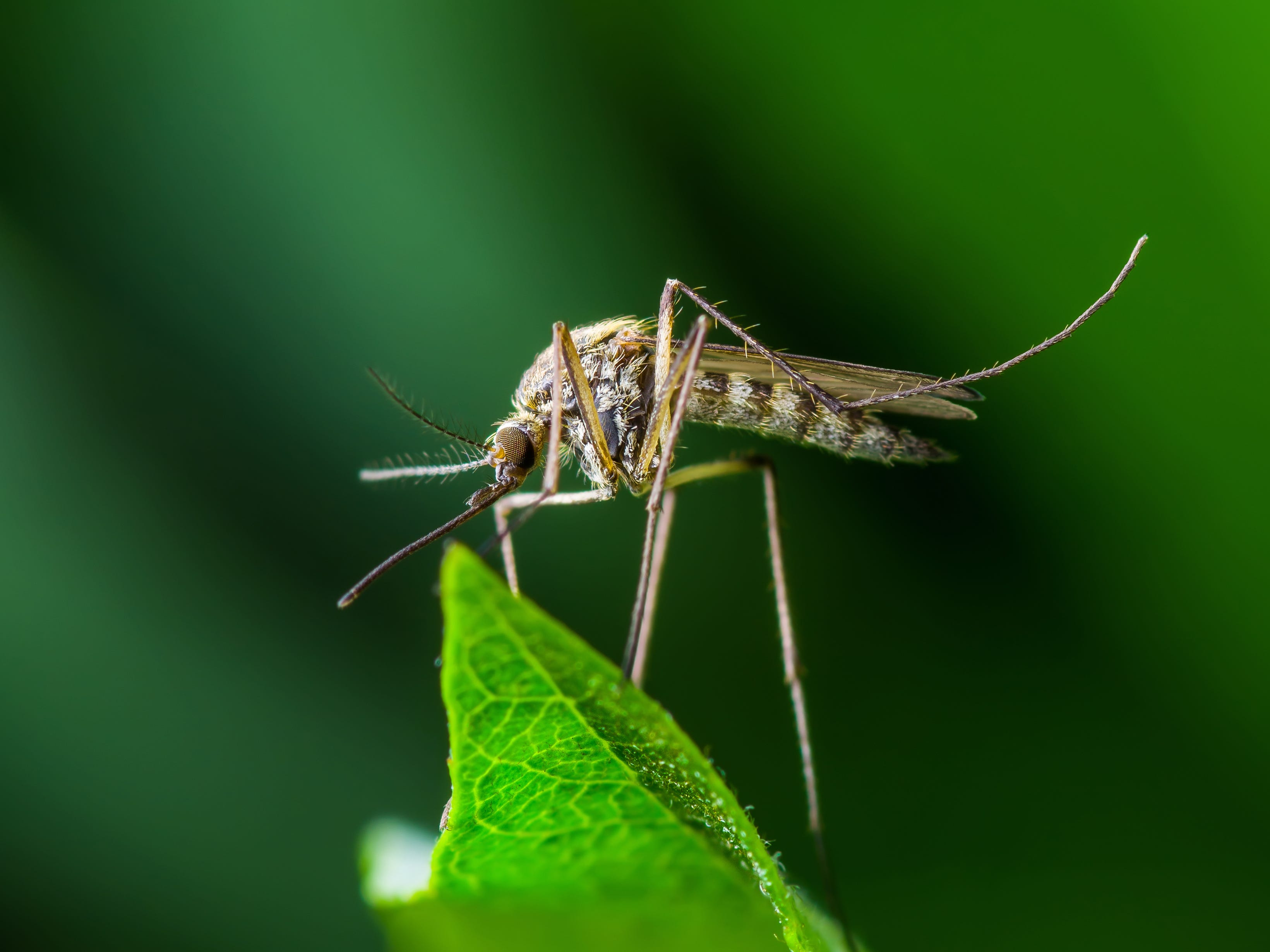 Plastic Eating Mosquitoes Move Pollution Up Food Chain Biology Letters