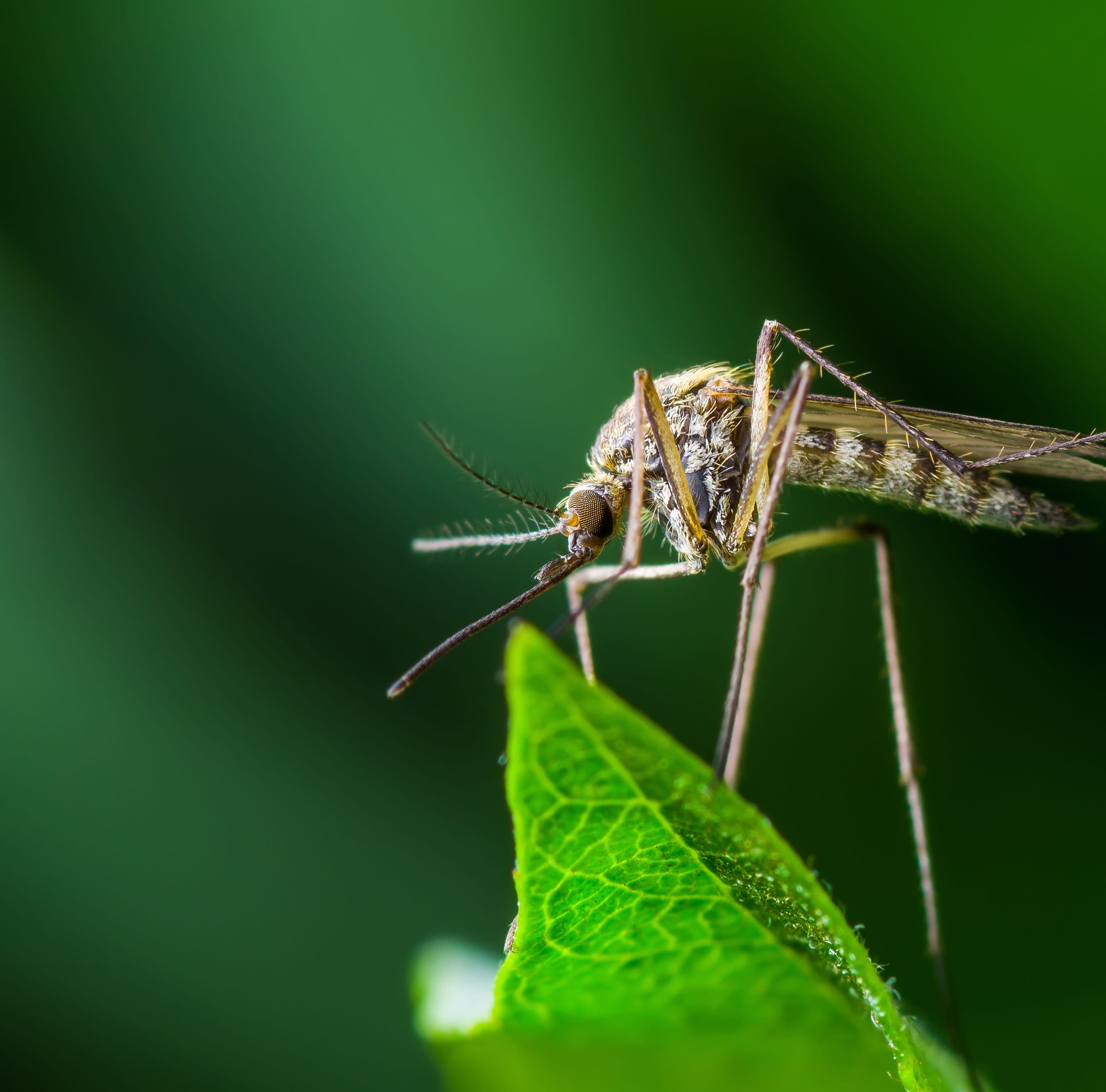 Mosquitoes are eating plastic. Why that's a big problem.