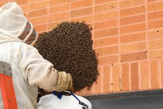 Greg Mazzatta collects a swarm of bees from a hospital wall. Photo by Mike Maccia.