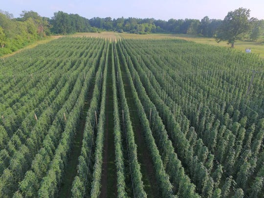 An overhead view of High Five Hop Farm's hop bines before they were harvested