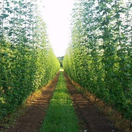 Marshall has its own hop farm. Its main customer? Dark Horse Brewery.