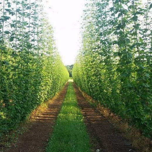 High Five Hop Farm's hop bines are harvested in August.