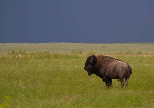 The goal at APR is to have 10,000 bison on the landscape one day. The current heard numbers about 900 animals.