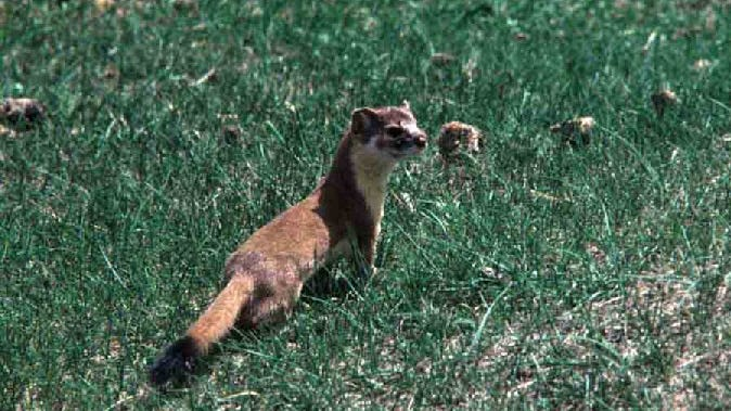 Though a long-tailed weasel may only weigh a half a pound, it has the ability to take down and drag away prey up to six times its size.