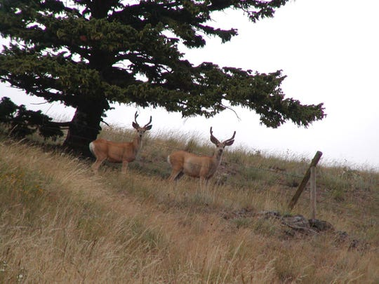 Mule deer can easily bound up a steep hillside to escape danger.