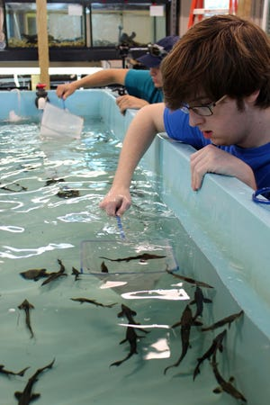 Seth Little, a Tennessee Aquarium Conservation Institute volunteer, rounds up juvenile lake sturgeon for release.