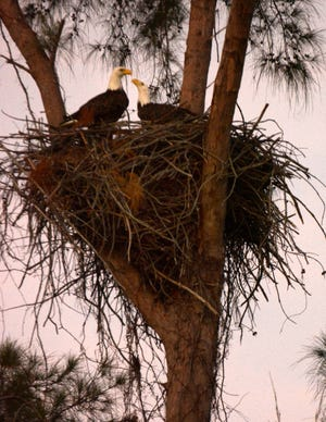 The eagles share a moment at sunrise Wednesday. The Eagle Cam at the Marco Island Nature Preserve and Bird Sanctuary is live, just in time to watch a pair of eagles renovating the treetop nest.