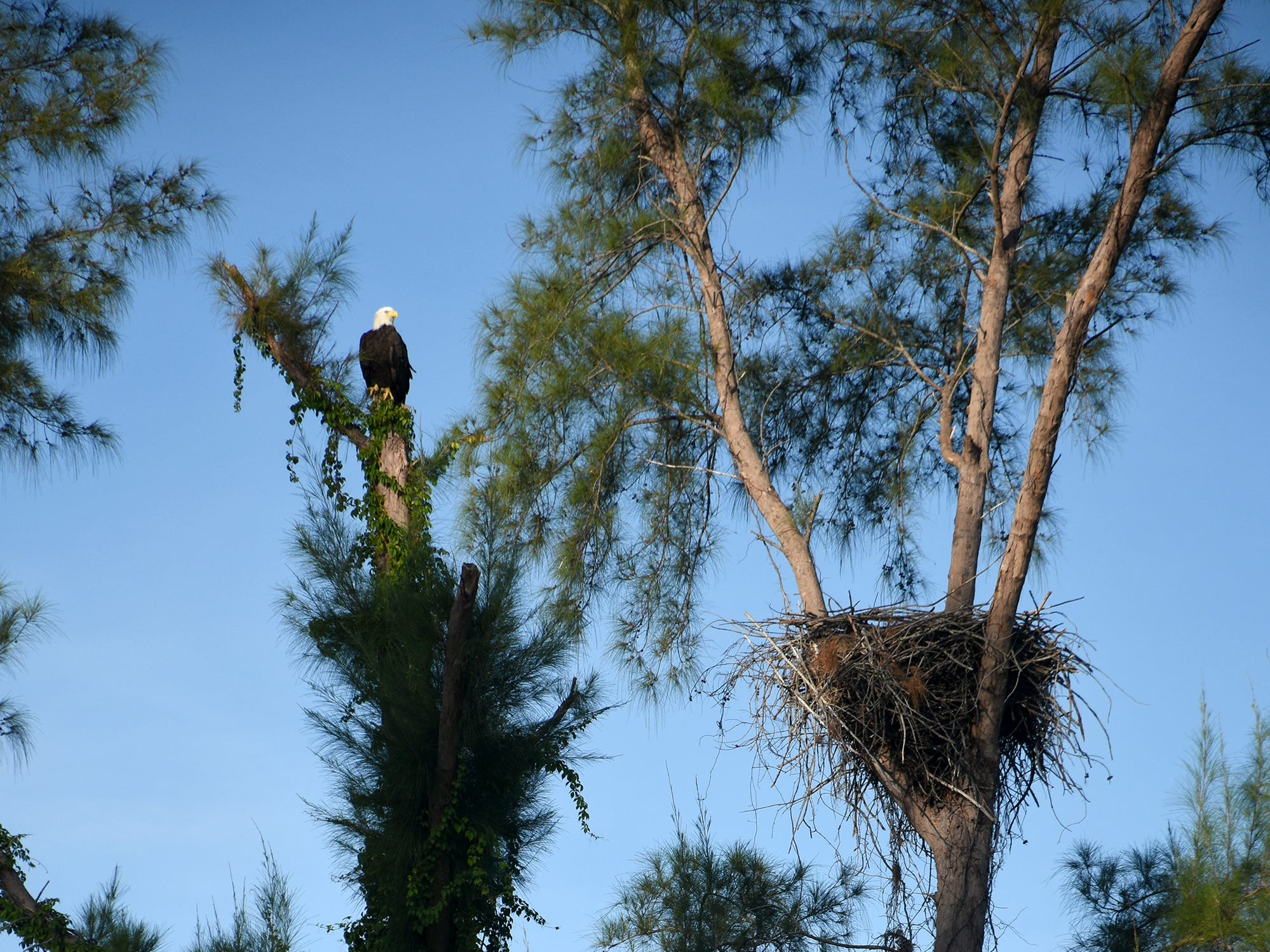 An eagle waits by the nest along Tigertail Court for its mate to return. The Eagle Cam at the Marco Island Nature Preserve and Bird Sanctuary is live, just in time to watch a pair of eagles renovating the treetop nest.