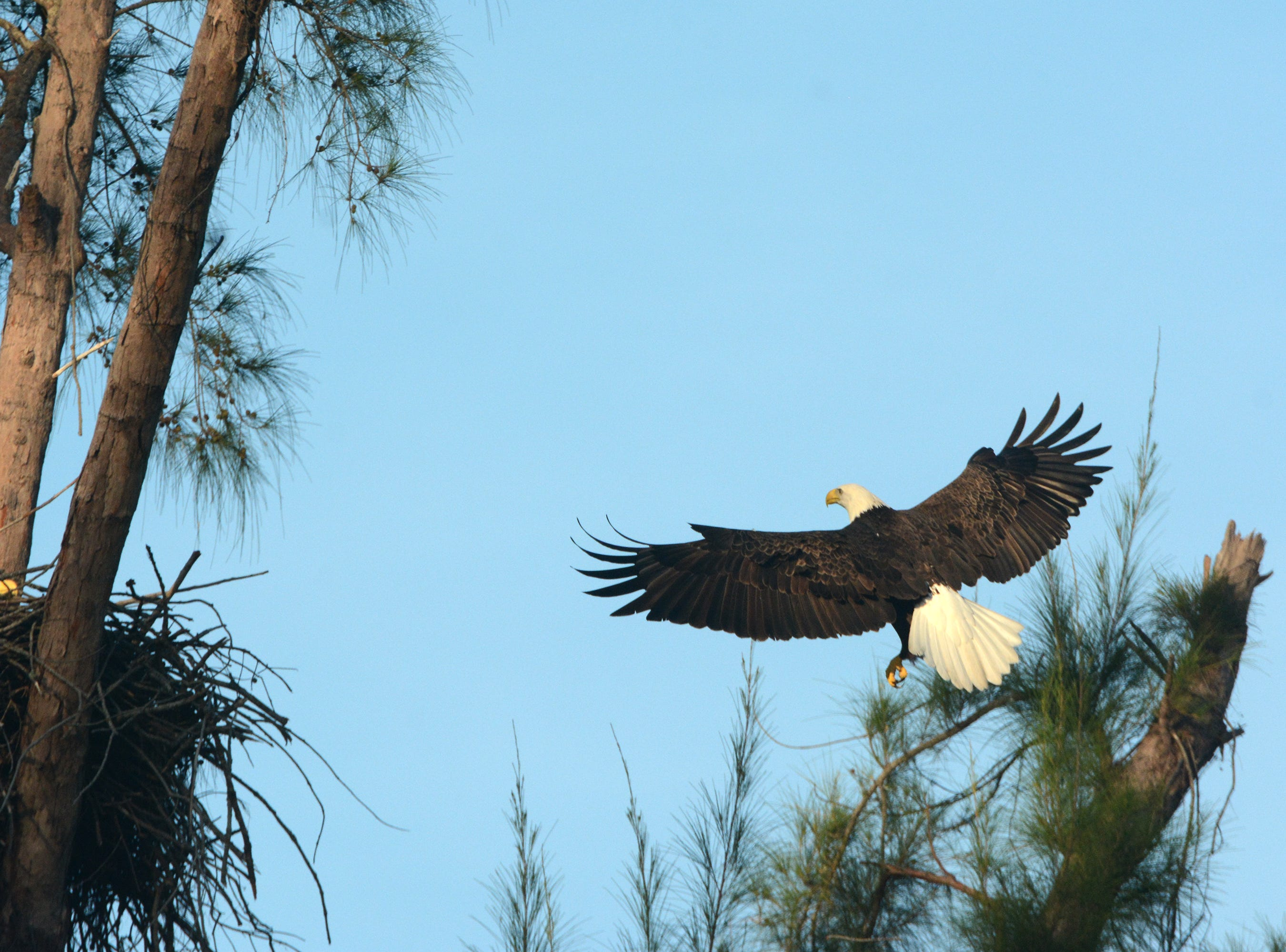 A bird returns to the nest with another stick for building. The Eagle Cam at the Marco Island Nature Preserve and Bird Sanctuary is live, just in time to watch a pair of eagles renovating the treetop nest.