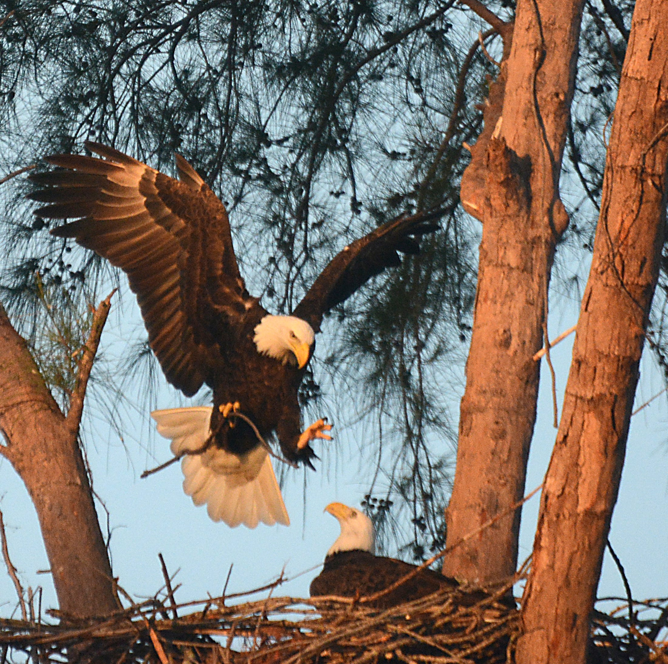Eagles eyed: Marco Eagle Sanctuary webcam goes live