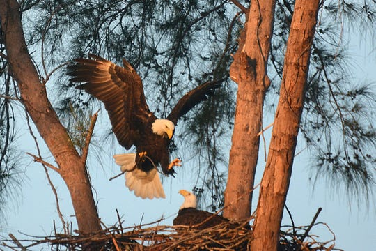 File: An Eagle returns to the nest with another stick for building at the Marco Island Nature Preserve and Bird Sanctuary