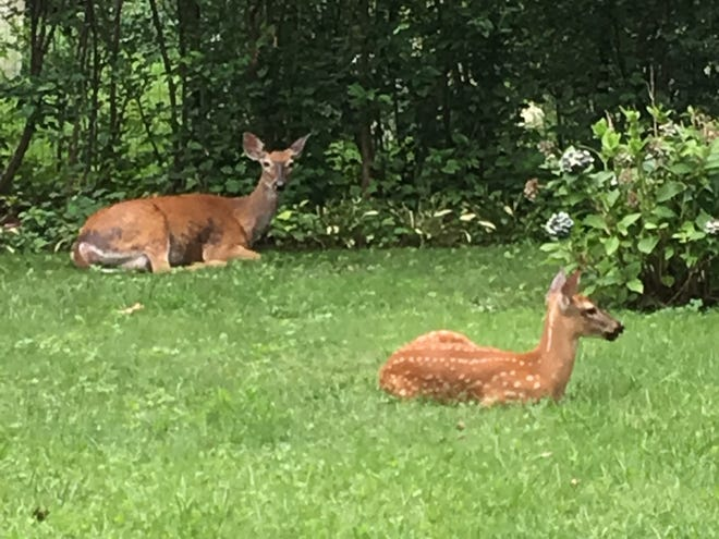 Penny with one of her fawns