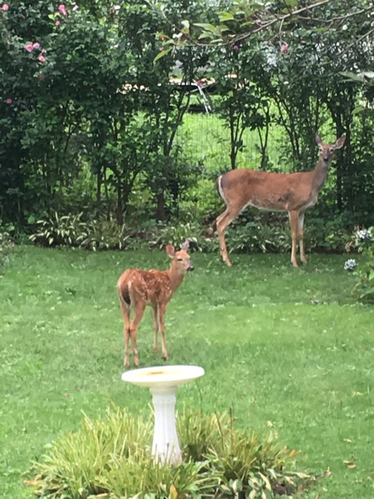 """Penny"" with one of her fawns"
