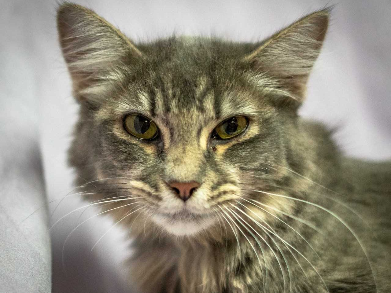 Bliss - Male domestic medium hair, 2 years old. Intake date: 7/12/2018