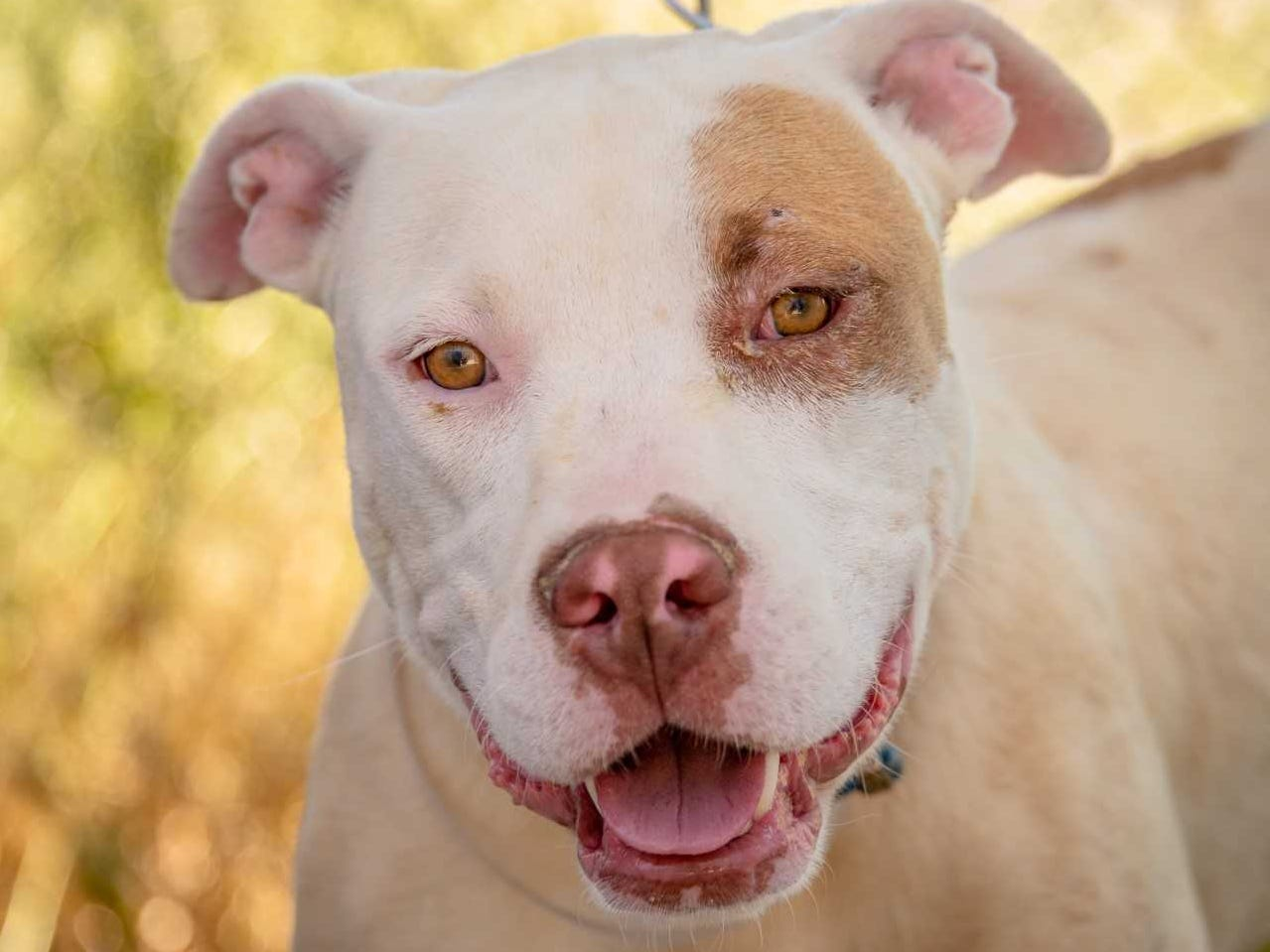 Cane - Male (neutered) pitbull mix, 3 years old. Intake date: 5/5/2018