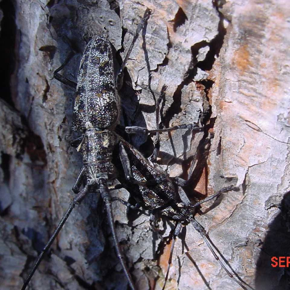 Are bugs to blame for dying pines?