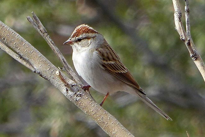 An adult chipping sparrow shows off its signature rusty-red cap.