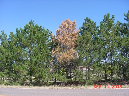 Can you guess which one of these Austrian pines was attacked by the pine sawyer beetle?