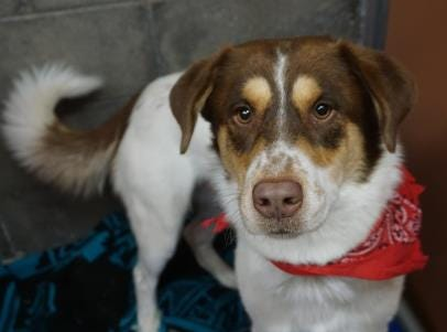 Meet Moo Moo. He is a 1-year-old shepherd mix, He does well with most dogs and can be a little shy at first and will need to stay overnight to be neutered. Please stop in and meet him today.  The Farmington Animal Shelter is located at 133 Browning Parkway and can be reached at 505-599-1098. Check Petfinder.com for an up-to-date list of pets up for adoption.