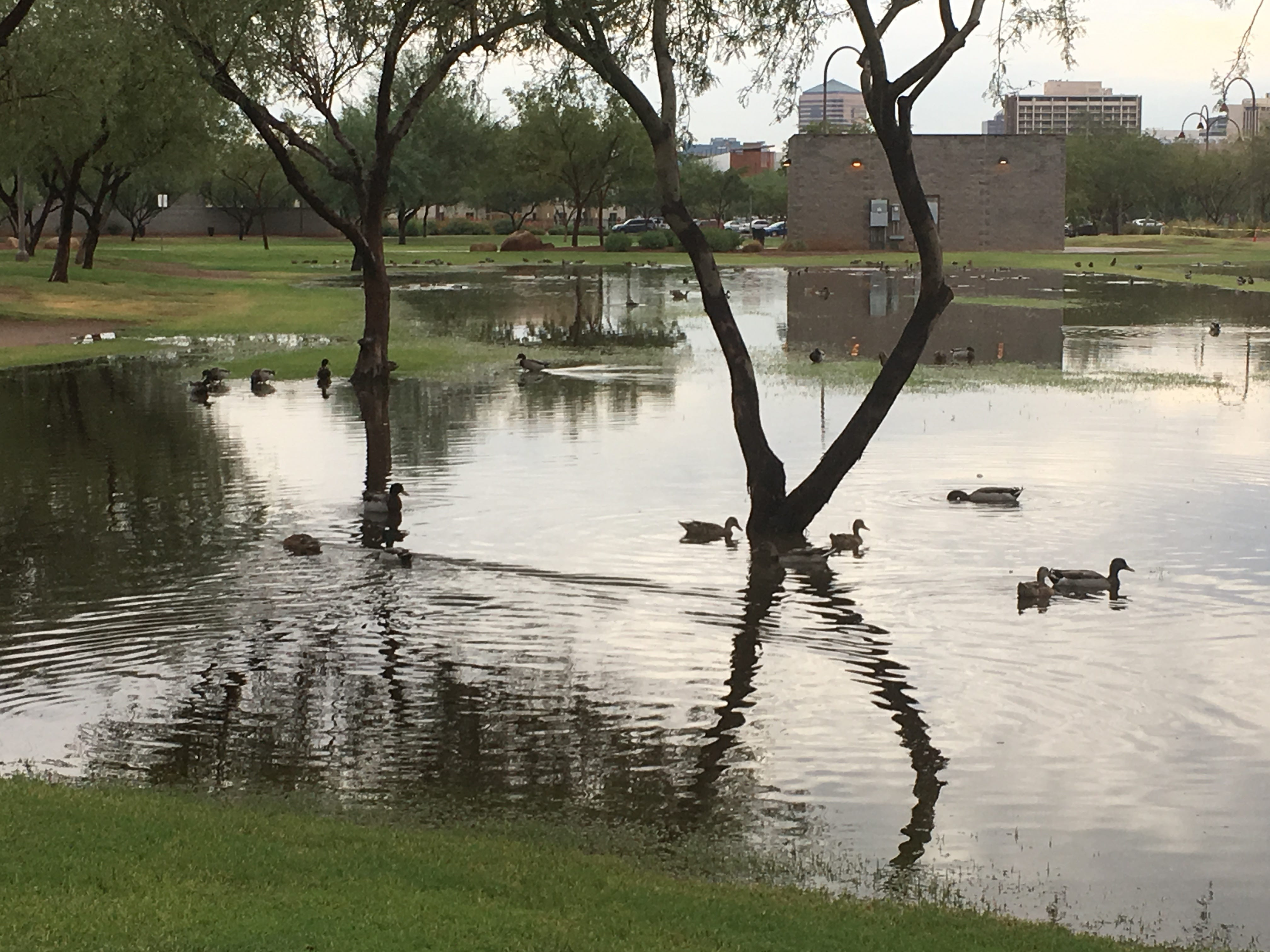 Ducks swim in puddles at Steele Indian School Park after rain hit Phoenix on Sept. 19, 2018.